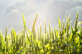 Getreide 28 - Sonnenaufgang - 113420332