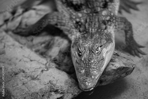 the head of a caiman crocodile in water
