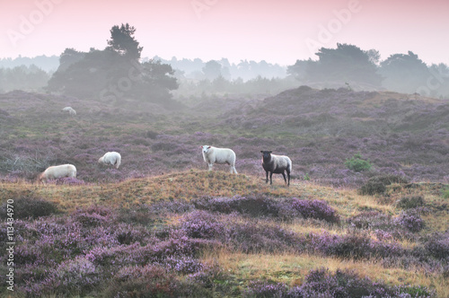 sheep on hill with flowering heather - 113434970