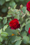 detail of red roses bush