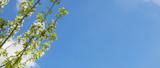 Rami fioriti con sfondo cielo azzurro
