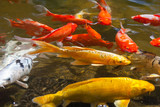 Yellow, gold, red, and white Koi, also known as nishikigoi, domesticated common carp for garden ponds for decorative  purposes
