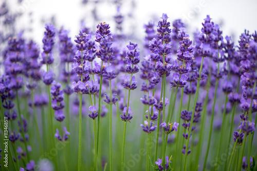 Fotobehang Lavendel Meadow of lavender. Nature composition. Selective focus