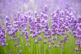 Meadow of lavender. Nature composition. Selective focus - 113468727