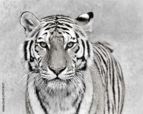 Fotobehang Tijger Amur tiger (Panthera tigris altaica)