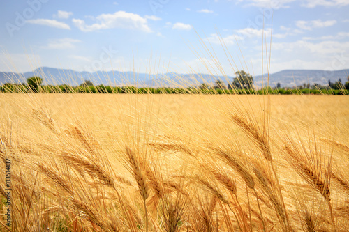 Obraz na Plexi ear of wheat field in summer