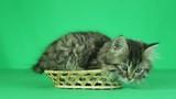 cute kitten in straw basket on a green screen