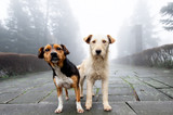 Two stray dog standing close to each other in foggy day. Pets