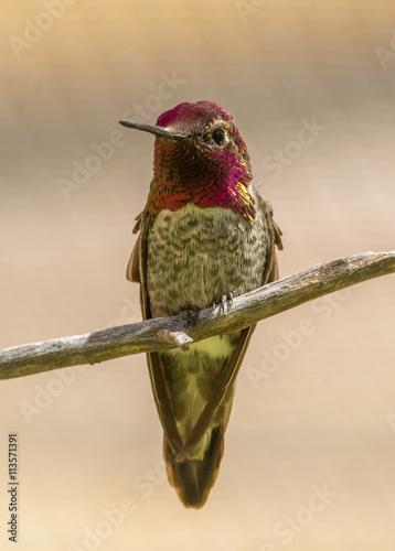 obraz PCV Anna's Hummingbird