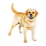 Watercolor closeup portrait of Golden Retriever breed dog isolated on white abstract background. Large-sized longhair gun dog in Scotland. Hand drawn sweet home pet. Greeting card design. Clip art