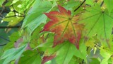 紅葉の日本、北海道黒松内町の秋