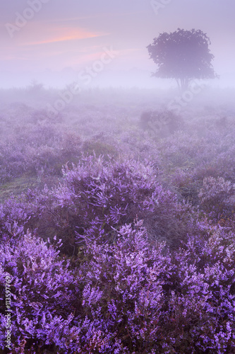 Fotobehang Purper Fog over blooming heather in The Netherlands at dawn