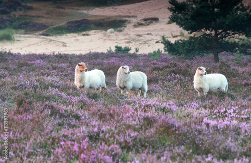 sheep in heather flowers - 113597963
