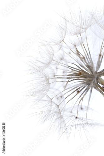 ripe seedhead of salsify © Tamara Kulikova