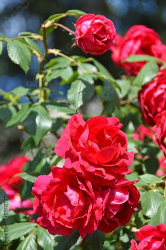 Fototapeta Red roses in summer