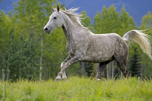 obraz PCV Beautiful Gray Arabian Gelding galloping in meadow