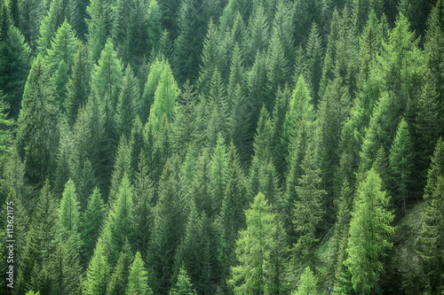 Healthy green trees in a forest of old spruce, fir and pine - 113621175