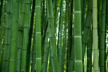 bamboo grove, bamboo forest at Arashiyama, Kyoto, Japan © paw48042