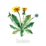 Watercolor dandelion herbs.