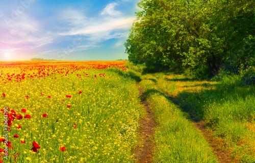 Fototapeta Field of bright red poppy flowers in spring.