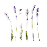 Fototapety lavender flowers set