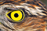 Birds of Europe and World - Sparrow-hawk