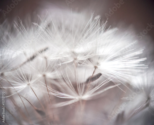 Dandelion abstract background. Shallow depth of field. - 113707170