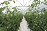invernadero tomates 1382-f16