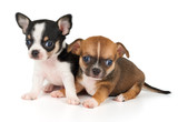 Two puppies of Chihuahua