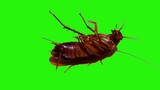 Cockroaches on isolated green screen