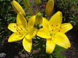 Asiatic hybrids lilium