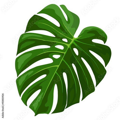 Foto op Aluminium Draw Tropical Leaf Monstera Plant isolated on white