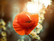 red summer poppy flower at sunset light
