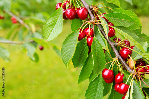 Zdjęcia na płótnie, fototapety, obrazy : Sweet big cherries on a branch close up.