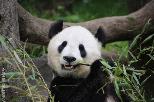 gro er panda frisst bambus plak t obraz na ze. Black Bedroom Furniture Sets. Home Design Ideas