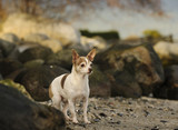 Chihuahua dog standing on rugged beach with rocks