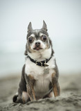 Portrait of Chihuahua sitting on beach sand