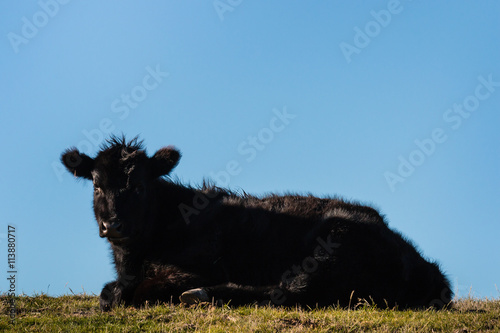 Poster angus calf resting on grass against blue sky