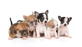 Five puppies of Chihuahua