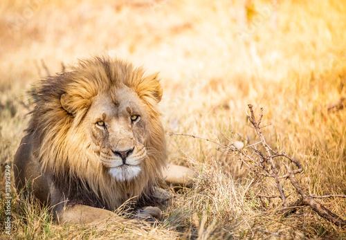 obraz lub plakat Large lion in Botswana savannah