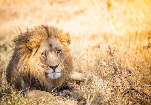 Large lion in Botswana savannah Poster