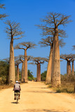 A malagasy local on a bicycle on the avenue of the baobabs in Madagascar