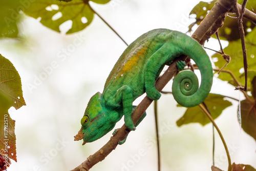 Aluminium Kameleon Beautiful camouflaged chameleon in Madagascar, presumably the Parsons chameleon (Calumma parsonii)