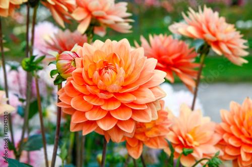 dahlia-pomaranczowi-kwiaty-w-punktu-nieposluszenstwa-parku-w-ta