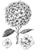 Fototapety Hydrangea flower set. Hand drawn detailed hortensia