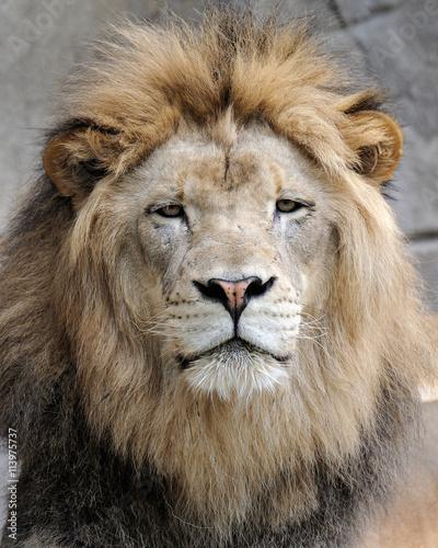 Fototapeta African lion (Panthera leo)