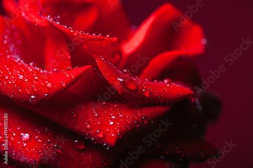 Zdjęcia na płótnie, fototapety, obrazy : Red rose with water drops