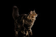 Beautiful Large Maine Coon Cat Walk with furry tail Isolated on Black Background, Front view