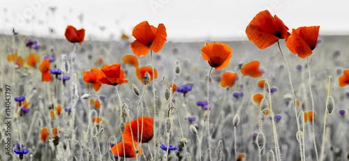 fototapeta na ścianę Panorama z nmaków polnych i kwiatów polnych