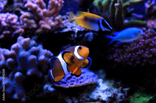 Clownfish, the real nemo Poster